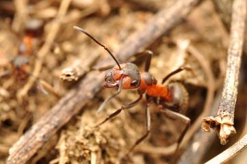 Mrówka_5