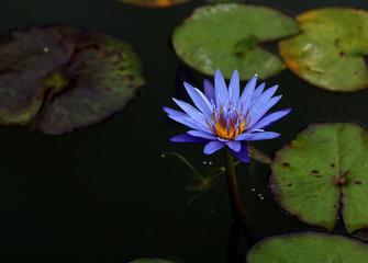 asiatische violette Seerose mit Seerosenblättern