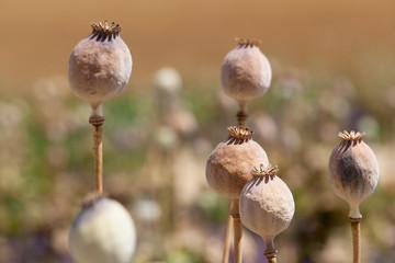 Trockene Mohnpflanzen