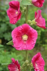 Malva flowers