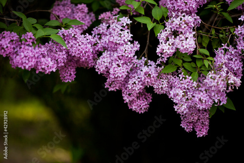 Spoed canvasdoek 2cm dik Lilac bunch of violet lilac flower (shallow DOF)