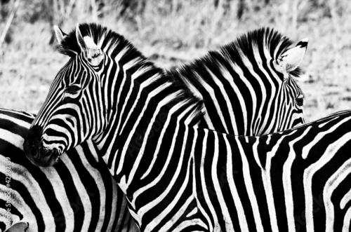 zebry-w-kruger-parku-narodowym-poludniowa-afryka