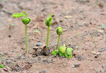 Tamarind seedlings growing in nature