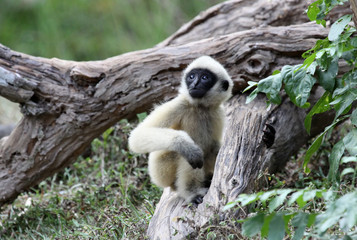 White Cheeked Gibbon or Lar Gibbon  baby