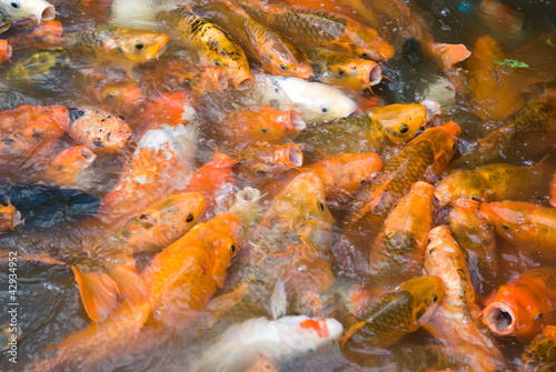 crowded Koi carps in a pond