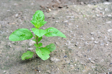 yong plant growing in nature,Holy Basil; Sacred Basil