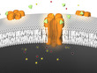 Potassium Ion Channel - active