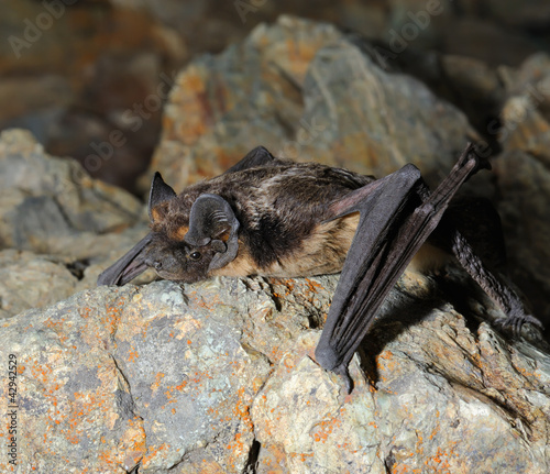 Little brown bat sits on the stone