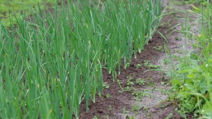 view of chive on the field.plantation onions
