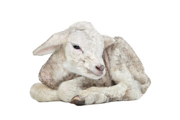 one day old Lamb