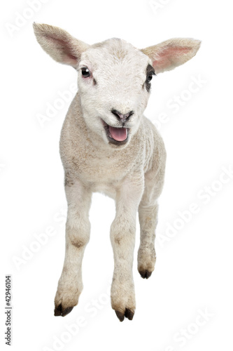 Canvas Schapen Lamb