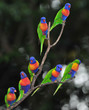 australian rainbow lorikeets gathered on tree