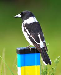 australian butcherbird on fence