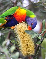 australian rainbow lorikeet , exotic colorful bird