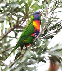 australian rainbow lorikeet in tropical setting