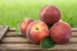 Erntezeit, Pfirsiche