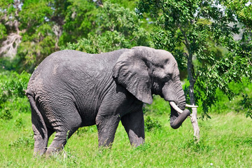 African elephant in Kruger National Park, South Africa
