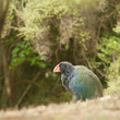 Flightless NZ bird Takahe Porphyrio hochstetteri