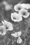 White poppies on b/w field