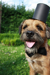 Border Terrier; dog with top hat and bow tie