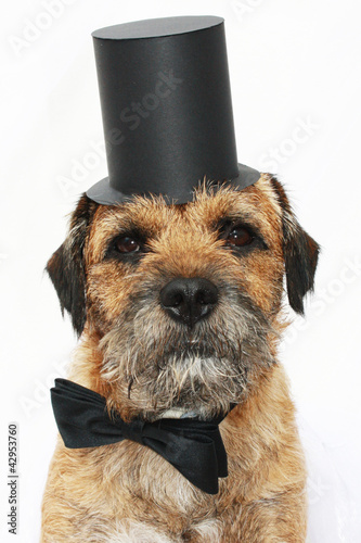 Border Terrier; dog with bow tie and top hat