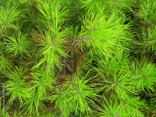 Young green needles of a pine