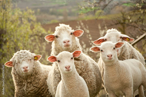 Sheep on pasture - 42956760