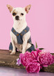 Chihuahua hua gentleman in a tuxedo with daisies