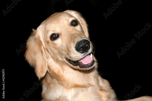 Happy Golden Retriever Isolated