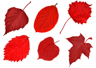 six red leaves on white