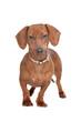 short haired dachshund
