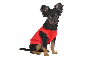 chihuahua with red shirt