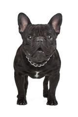 Dark brown French bulldog