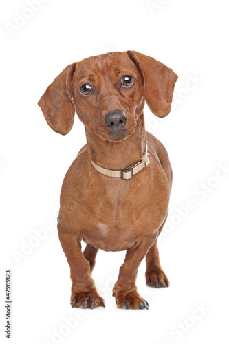short haired dachshund