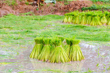 Rice bundle