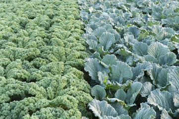 Gemüseanbau Wirsing und Grünkohl
