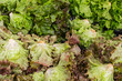 Red and green leaf lettuce