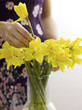 Woman arranging daffodils in vase