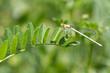 Common Bluetail Damselflies (Ischnura heterosticta)