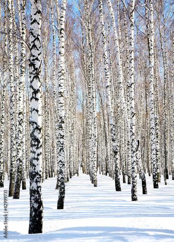 Blue sky in april birch grove