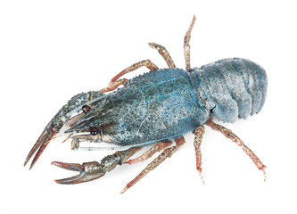 blue sea crayfish