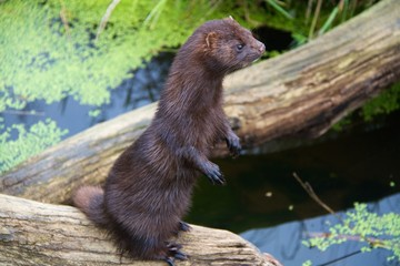 American Mink Stood Up