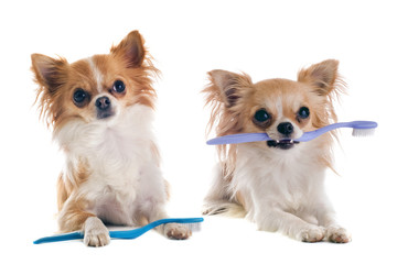 chihuahuas and toothbrush