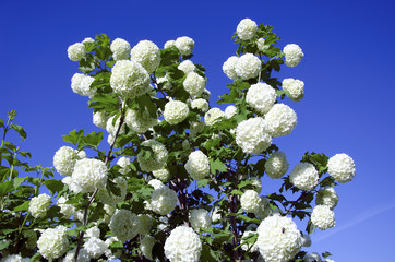 Snowball white blooms on blue sky. Viburnum opulus