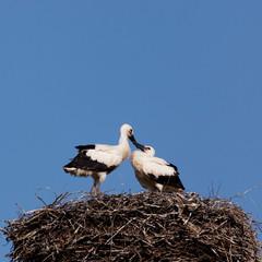 Птенцы аиста в гнезде сидят одни