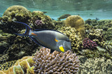 Tropical fish Acanthurus sohal