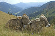 Kühe auf Almwiese im Allgäu
