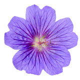 Fototapety Purple Geranium Flower Isolated on White