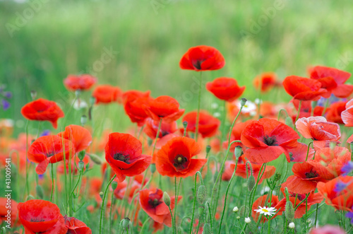 Foto op Canvas Poppy red poppy