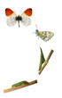 The orange tip, Anthocharis cardamines life cycle